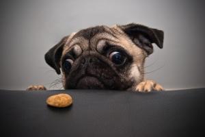 hungry_pug